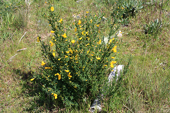 Wild Yellow Broom