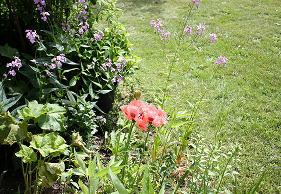 Pink Poppy in Garden Edging