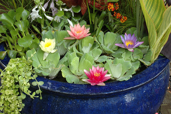 Water Gardening in Glazed Ceramic Container