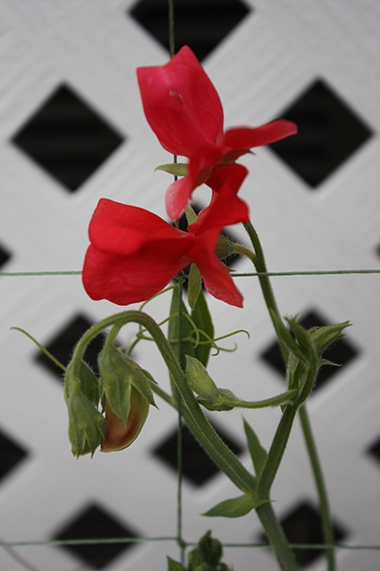 Sweet Pea Challenge: And The Winner Is…