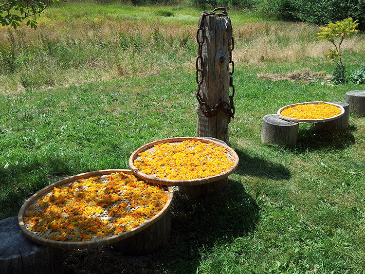 Calendula drying in the sun